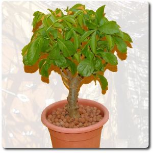 plante interieur baobab