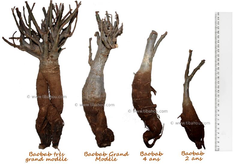 Baobab andansonia digitata planter grande taille plante - Petit arbre d interieur ...
