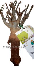 faire pousser un baobab